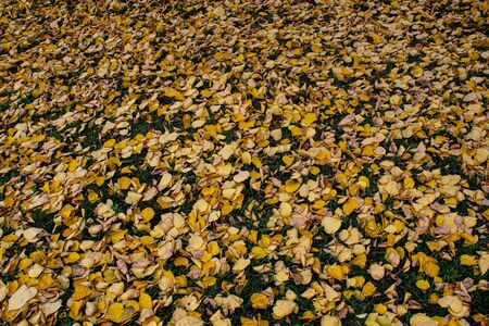 Yellow leaves yellow autumn. autumn leaves yellow trees. Stock fotó