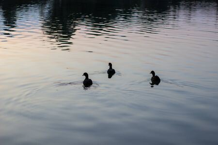 Wild ducks swimming in lake during summer evening
