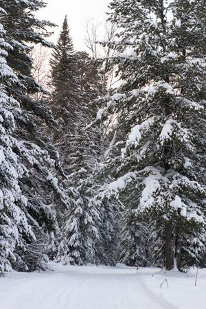 Beautiful landscape of forest in wintertime, majestic high pine trees covered with snow in mild light, beauty of winter nature. Banque d'images - 135496685