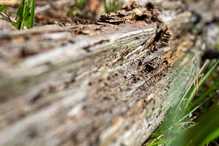 A dry log in the grass, on which large ants crawl. Rotten, old log. Dry dirt on an old log.