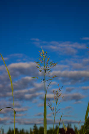 Fluffy blades of grass with pollen against the blurred background of blue sky in the summer sunny day. Close up landscape of a green high grass in the forest area with place for text. 免版税图像