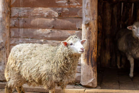 A white curly-haired sheep in a wooden pen. Sheep farming. Homemaking. Stock Photo