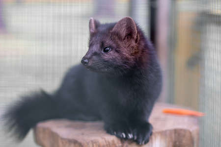 Small black animal European mink in a cage, behind bars. Stock Photo