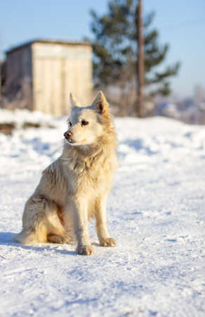 A beautiful dog sits in the snow in winter and watches