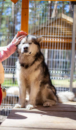 A beautiful and kind Alaskan Malamute shepherd sits in an enclosure behind bars and looks with intelligent eyes. Indoor aviary. The dog is stroked by hand