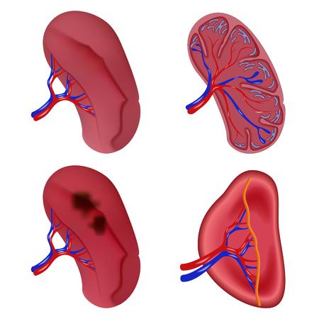 Spleen milt anatomy icons set. Realistic illustration of 4 spleen milt anatomy vector icons for web Illustration