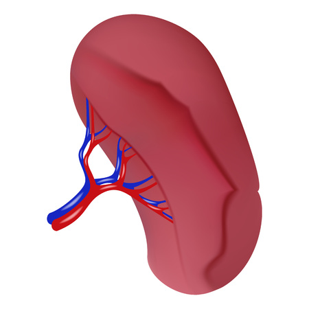 Spleen icon. Realistic illustration of spleen vector icon for web design isolated on white background Illustration