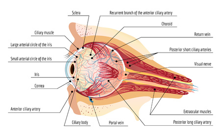 Human eye ball infographic. Cartoon of human eye ball infographic for web design Stock Photo
