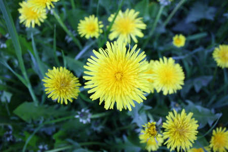 Yellow dandelion flowers with leaves in green grass, spring photo