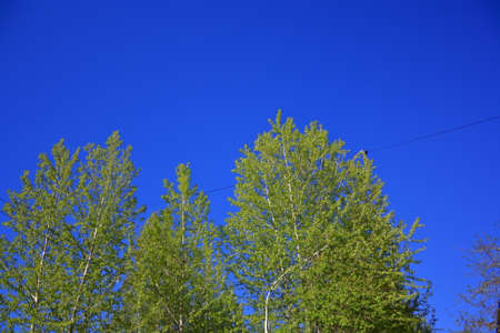 Birch twigs with the young green shining leaves hang down on blue sky background.