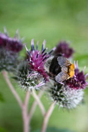 The bee collects nectar from the flowers of thistles
