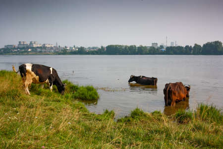 expanse: A herd of cows in a pasture in the summer