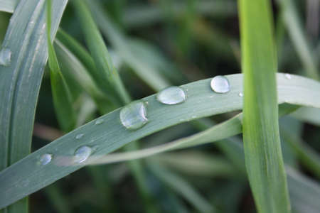very young green grass after rain close-up