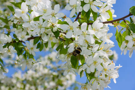 Bumblebee gathers nectar from flowers of wild apple trees