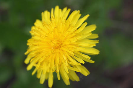 anthesis: Closeup of the blooming yellow dandelion flower.Spring.