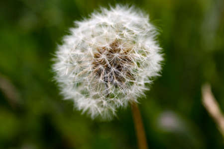 herbolario: Downy ripe seed head of the dandelion closeup Foto de archivo
