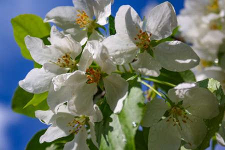 Apple trees flowers. the seed-bearing part of a plant, consisting of reproductive organs that are typically surrounded by a brightly colored corolla Stock Photo