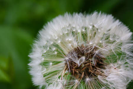 Close up of blooming yellow dandelion flowers Taraxacum officinale in garden on spring time. Detail of bright common dandelions in meadow at springtime. Used as a medical herb and food ingredient