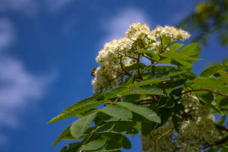 sorb: Flowers of mountain ash. Flowers of mountain ash macro. Flowers of mountain ash on a tree growing in a spring forest. blossoming of a mountain ash.
