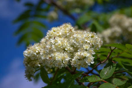Flowers of mountain ash. Flowers of mountain ash macro. Flowers of mountain ash on a tree growing in a spring forest. blossoming of a mountain ash.