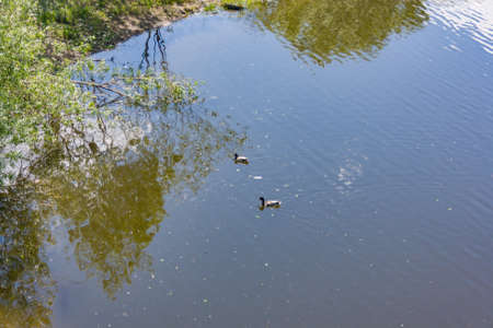 color image mallard duck: Image of an animal a wild drake and a duck sail on a pond
