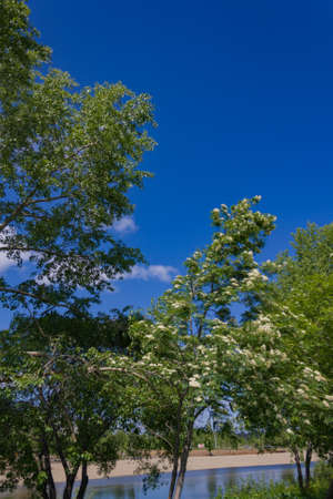sorb: Blooming cherry tree on a background of summer blue sky Stock Photo