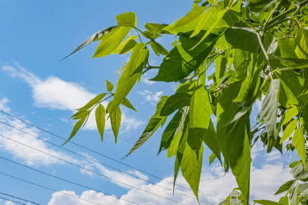 Juicy young poplar leaves against the blue sky, leaf fall in summer Stock fotó