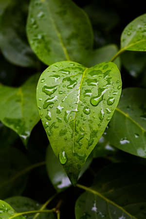 to trickle: Beautiful rain drops on green leaves after rain, Natural green plants using as Background or Wallpaper.