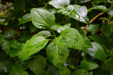 Beautiful rain drops on green leaves after rain, Natural green plants using as Background or Wallpaper.