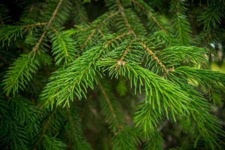 Branches of a fir closeup of beautiful background