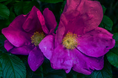 pink flowers of a dog-rose with a bright green grass