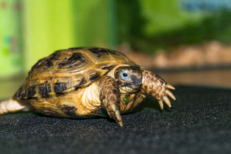 centenarian: Portrait of a Central Asian tortoise. Agrionemys horsfieldii.
