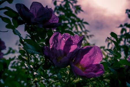 tuberous: Beautiful wild roses in a sunny garden. Romantic mood Stock Photo
