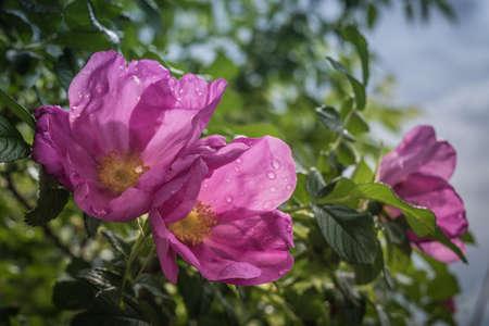 Beautiful wild roses in a sunny garden. Romantic mood Stock Photo