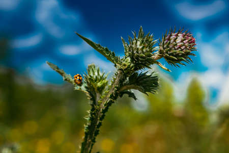 Flower thistle and ladybug on blue sky background Stock Photo