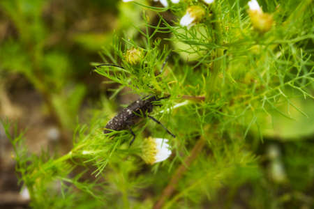 Big capricorn beetle is sitting on a daisy close-up summer day