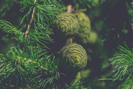 pinaceae: Green cones of larch close-up beautiful background