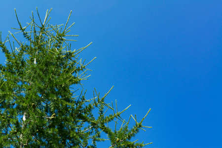 The branch of larch cone closeup against the blue summer sky