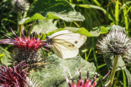 Female European Large Cabbage White butterfly Pieris brassicae Stock Photo