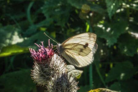 Female European Large Cabbage White butterfly Pieris brassicae Stock Photo