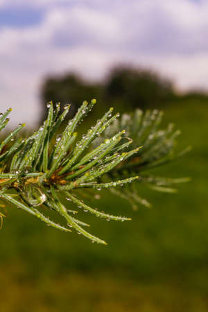 Green Sprig of Pine Needles closeup with water drops