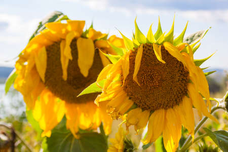 Sunflowers in a field against a blue sky. Summer Landscape Stock Photo