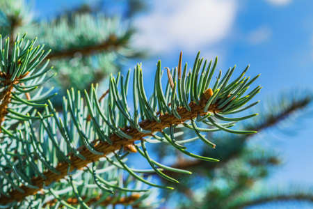 Blue spruce branches against the sky close-up