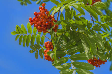 Branches of mountain ash with bright red berries against the blue sky background