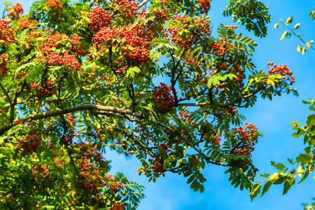Grapes of red mountain ash in green foliage Stock Photo