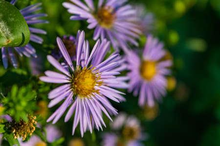 Aster novi belgii on natural green background. Delicate Violet blooming Flower on green background at garden. Stock Photo
