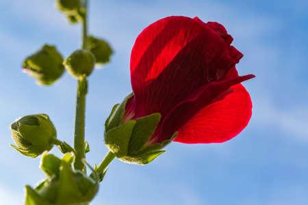 Heldere rode mallow bloemen met groene bladeren close-up