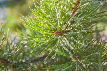Needles of pine in the rays of the setting sun macro beautiful background