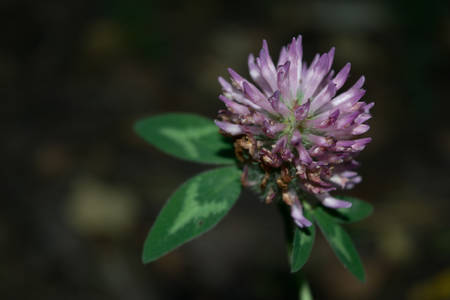 red clover: Beautiful clover flower close-up on a dark background