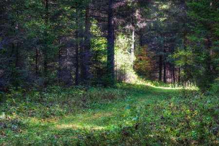 Sunny morning in a coniferous forest in the early autumn